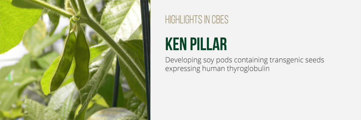 Developing soy pods containing transgenic seeds expressing human thyroglobulin